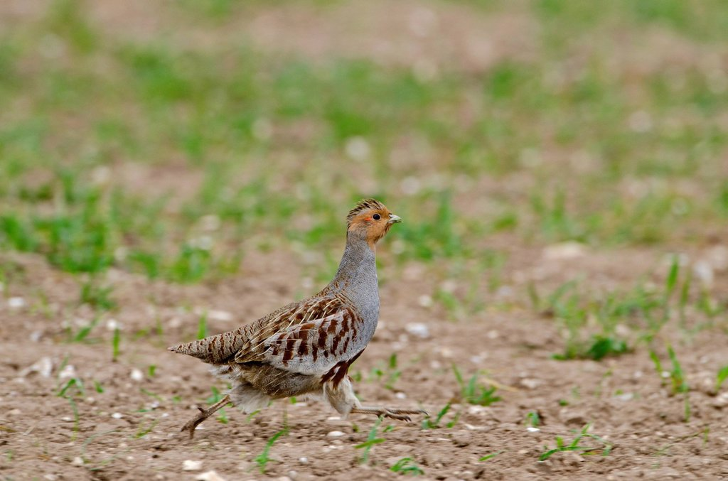 Grey Partridge Perdix perdix, male running along edge of winter wheat field, Norfolk, England, United Kingdom, Europe : Stock Photo