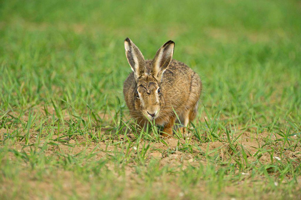 Stock Photo: 1848-575615 Brown Hare Lepus europaeus, spring, Norfolk, England, United Kingdom, Europe