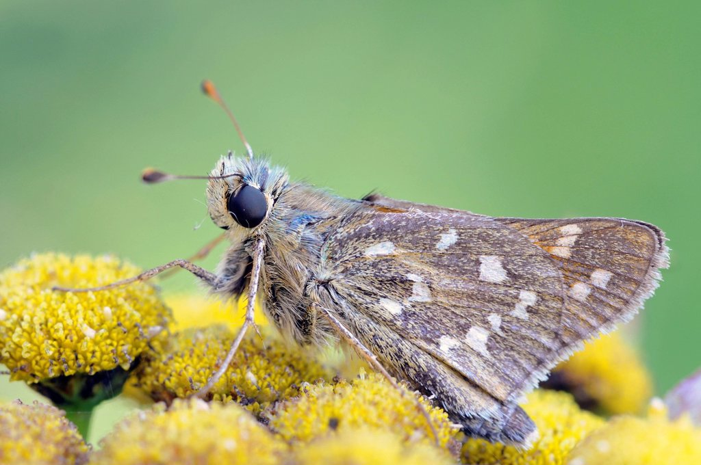 Stock Photo: 1848-576023 Silver_spotted Skipper Hesperia comma, Middle Elbe Biosphere Reserve, Central Elbe region, Saxony_Anhalt, Germany, Europe