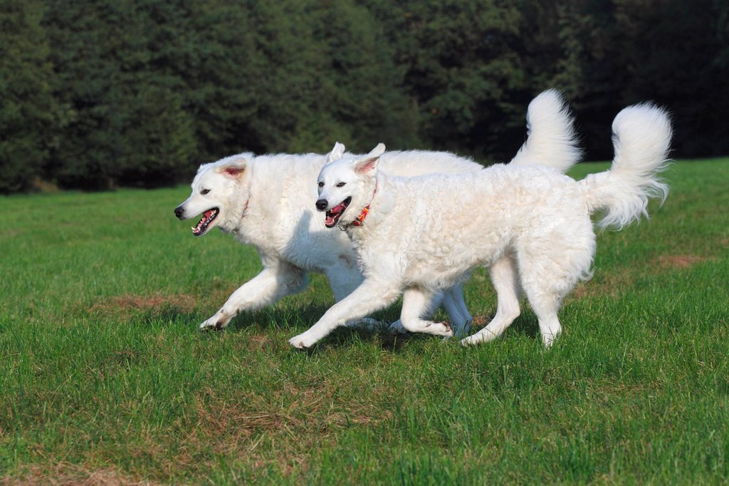 Hungarian Kuvasz dogs Canis lupus familiaris pair running, male dog and bitch, guard dogs : Stock Photo
