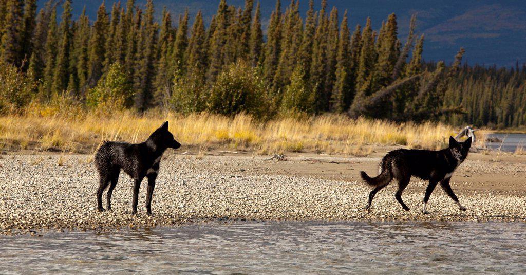 Two black sled dogs, Alaskan Huskies, gravel bar, Takhini River, Yukon Territory, Canada : Stock Photo