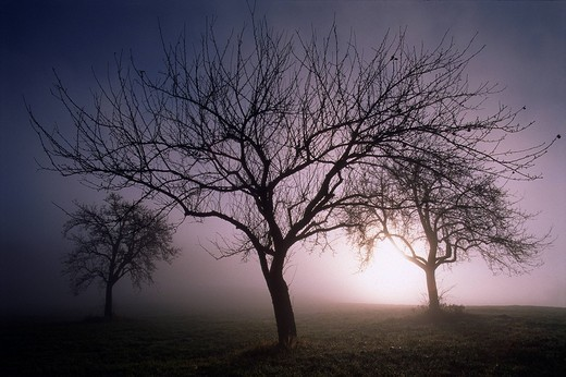 Stock Photo: 1848-57805 Autumnal fruit trees in fog