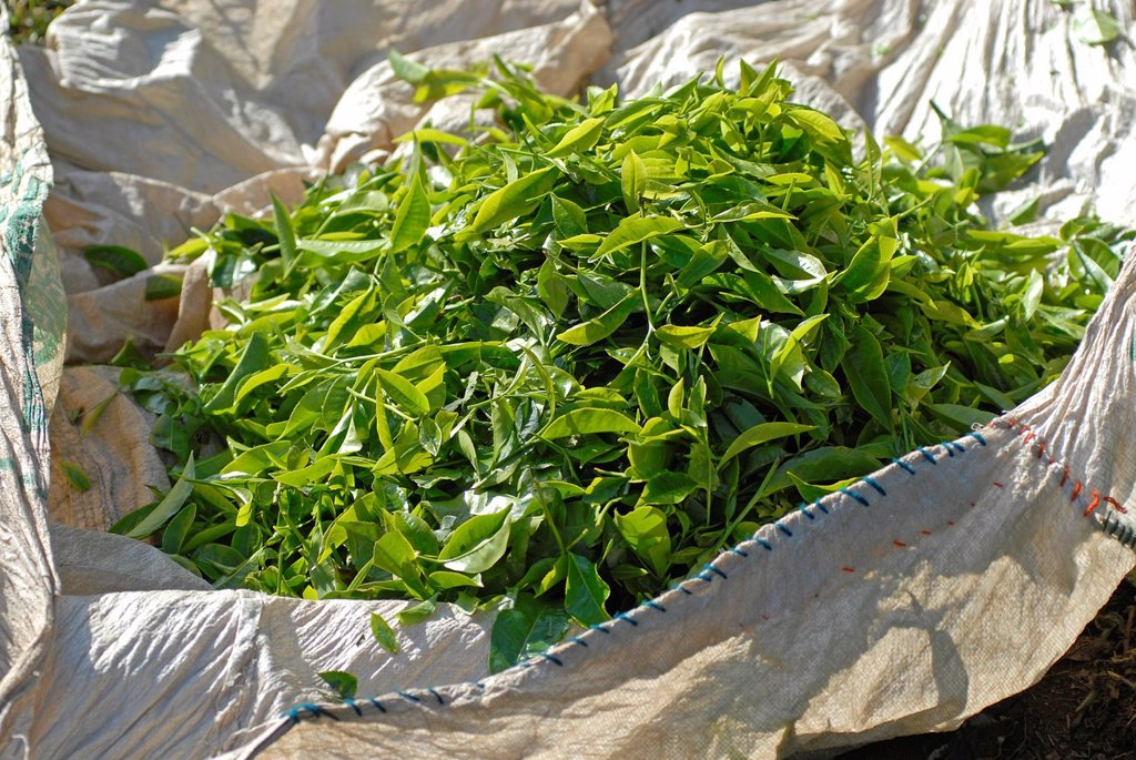 Stock Photo: 1848-578184 Freshly picked tea leaves, TATA tea plantation, near Munnar, Kerala, South India, India, Asia