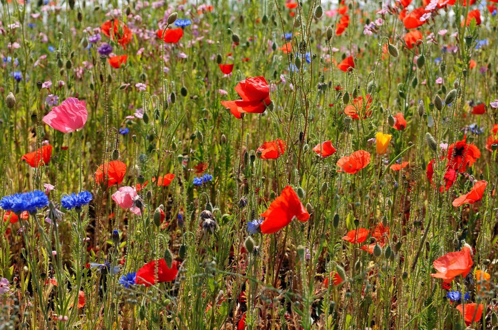 Stock Photo: 1848-578221 Meadow with field poppies Papaver rhoeas and cornflowers Centaurea cyanus