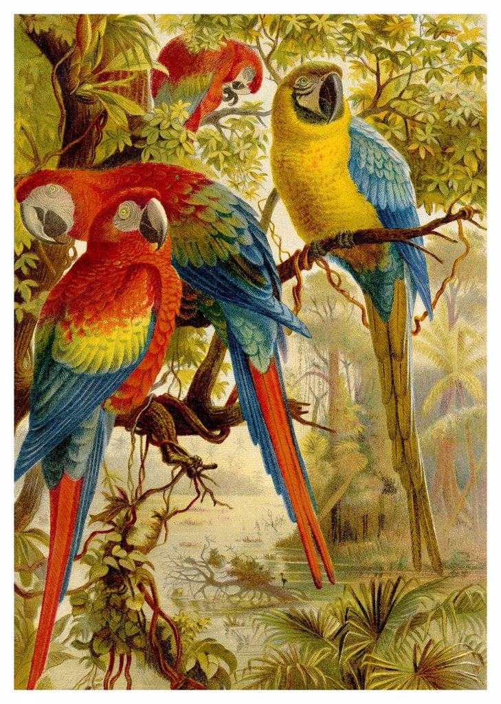 Historical graphic representation, Scarlet Macaws Ara macao, 19th Century, from Meyers Konversations_Lexikon encyclopaedia, 1889 : Stock Photo
