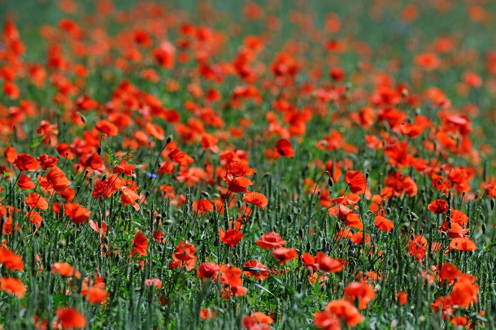 Stock Photo: 1848-578487 Poppies Papaver rhoeas in a wheat field