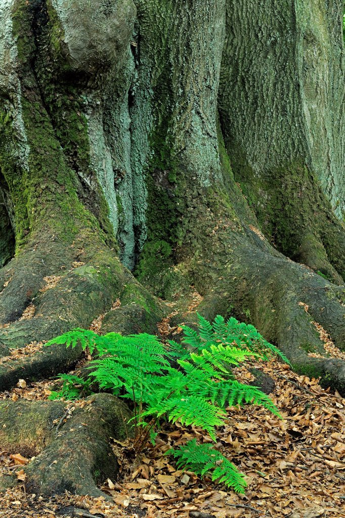 Stock Photo: 1848-578526 Lady_fern Athyrium growing between the moss_covered trunk of an old Beech Fagus tree, ancient forest of Sababurg, Hesse, Germany, Europe
