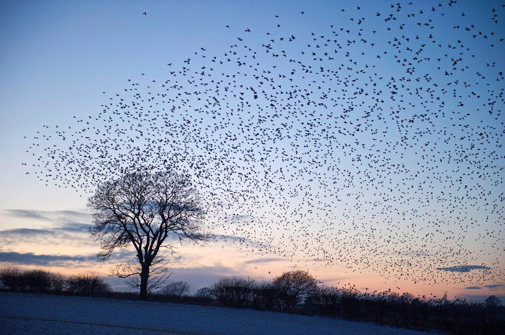Stock Photo: 1848-579030 Starlings Sturnus vulgarus arriving at night time roost near Gretna, Dumfries, Scotland, United Kingdom, Europe