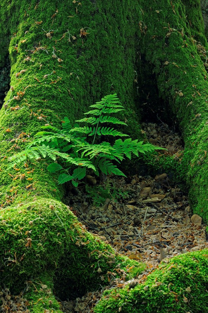 Stock Photo: 1848-579192 Lady_fern Athyrium growing between the moss_covered trunk of an old Beech Fagus tree, ancient forest of Sababurg, Hesse, Germany, Europe