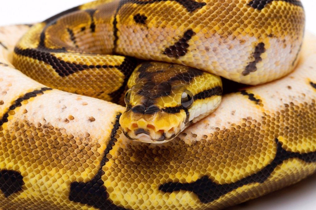 Stock Photo: 1848-579869 Royal Python Python regius, Spider, female, Willi Obermayer reptile breeding, Austria