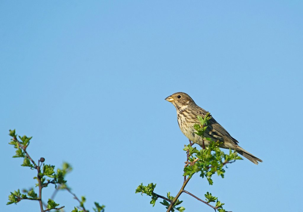 Stock Photo: 1848-580343 Corn Bunting Miliaria calandra, Norfolk, England, United Kingdom, Europe