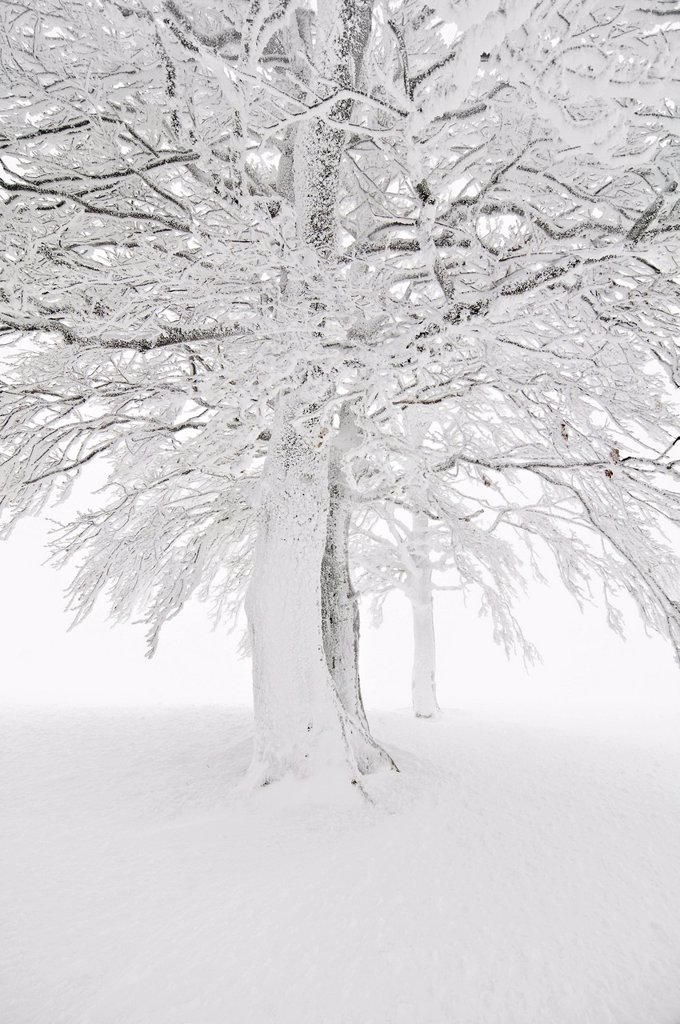 Snow_covered beech on Mt. Schauinsland, Freiburg im Breisgau, Black Forest, Baden_Wuerttemberg, Germany, Europe : Stock Photo