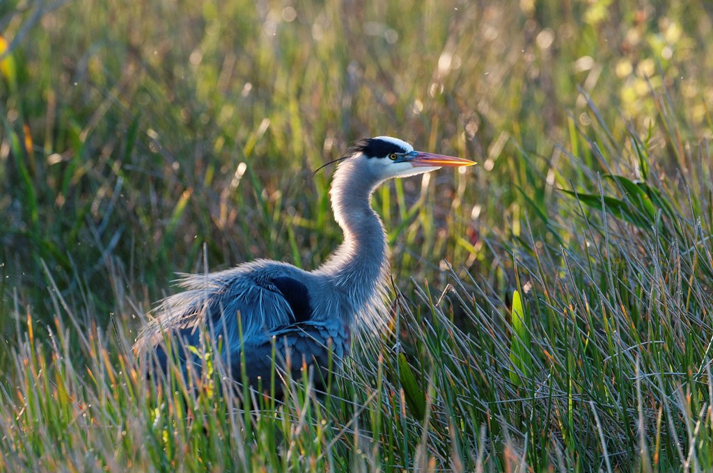 Stock Photo: 1848-581580 Great Blue Heron Ardea herodias, Everglades, Florida, USA