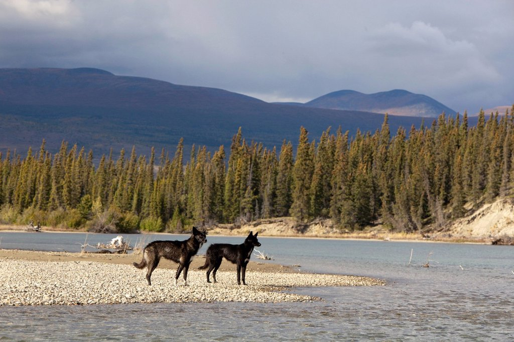 Two black sled dogs, Alaskan Huskies, gravel bar, Takhini River, Yukon Territory, Canada : Stock Photo