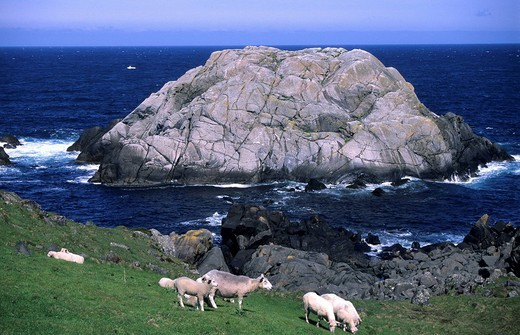 Stock Photo: 1848-58201 Sheep on a meadow next to the waves crashing against a rocky coast near Hendanes Fyr north of Maloy, Sogn og Fjordane, Norway, Scandinavia, Europe