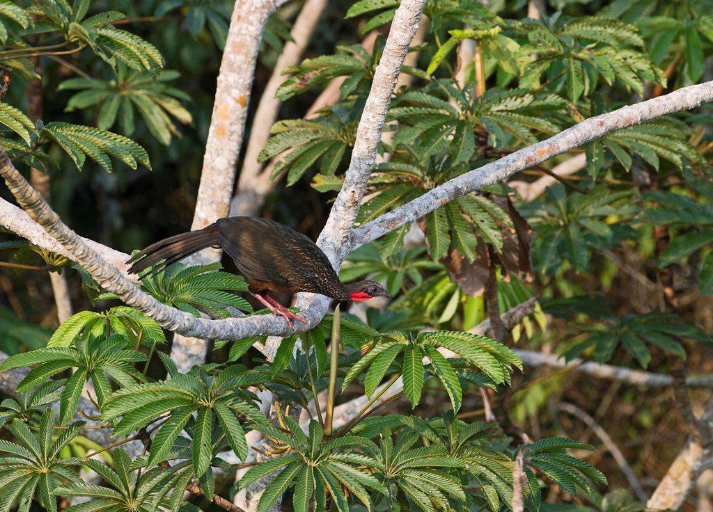 Spix´s Guan Penelope jacquacu, Peruvian Amazon, Peru, South America : Stock Photo