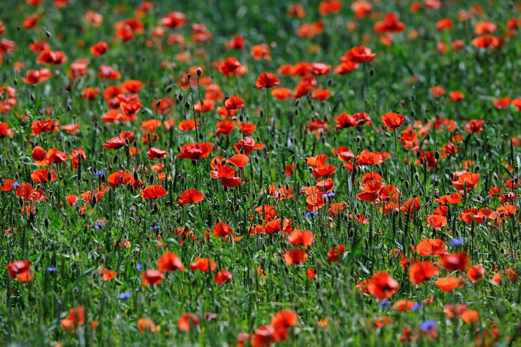 Poppies Papaver rhoeas in a wheat field : Stock Photo