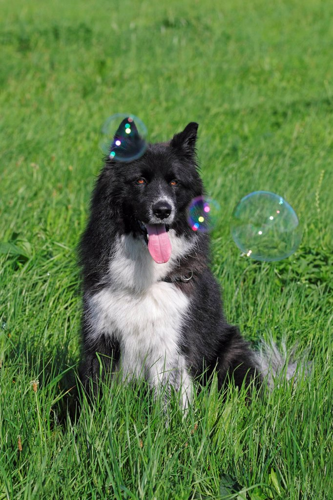 Stock Photo: 1848-582752 Mongrel Canis lupus familiaris, observing blow bubbles, male dog