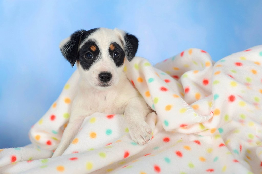 Stock Photo: 1848-584832 Parson Russell Terrier lying under a blanket