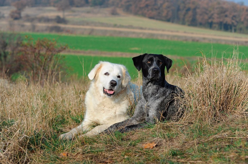 Stock Photo: 1848-584865 Slovensky Cuvac or Slovak Cuvac and a Labrador Retriever _ Australian Cattle Dog cross_breed lying in a meadow