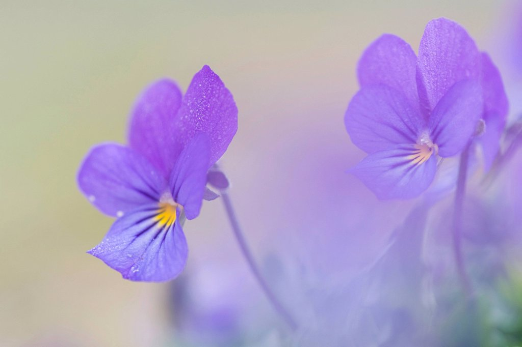 Stock Photo: 1848-585170 Heartsease Viola tricolor, Haren, Emsland, Lower Saxony, Germany, Europe