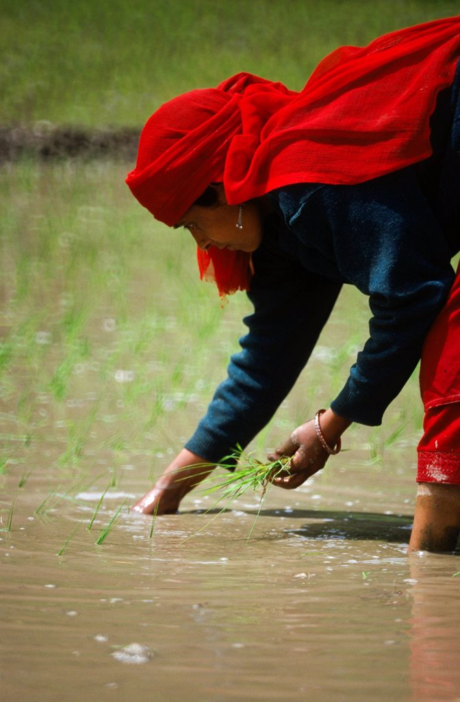 Stock Photo: 1848-586363 Planting rice, the main crop in eastern Kashmir, Atholi, Jammu and Kashmir, India, Asia