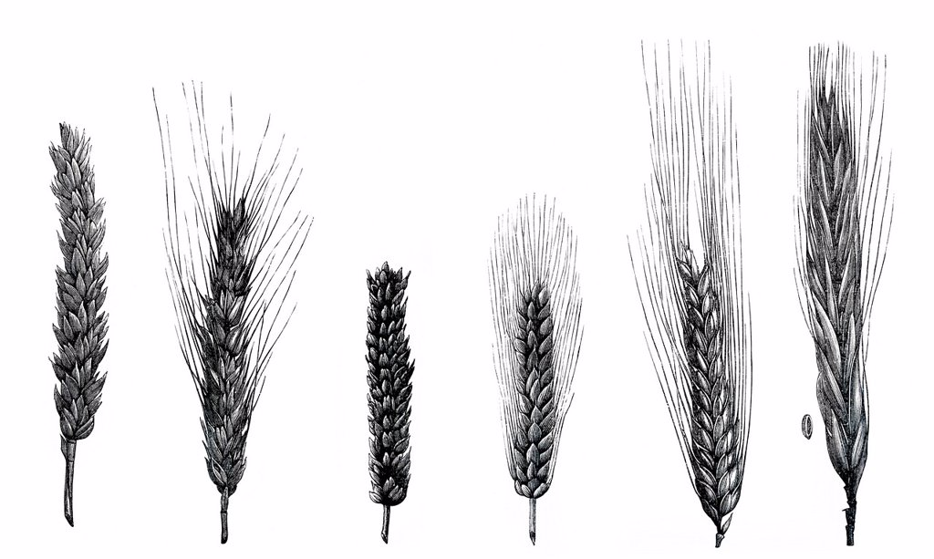 Stock Photo: 1848-586761 Drawings of wheat varieties, plant species of grasses Poaceae, genus Triticum L., Pflanzenbaulehre Leitfaden or Guide for plant cultivation by Dr. W. Koeppen, 1908