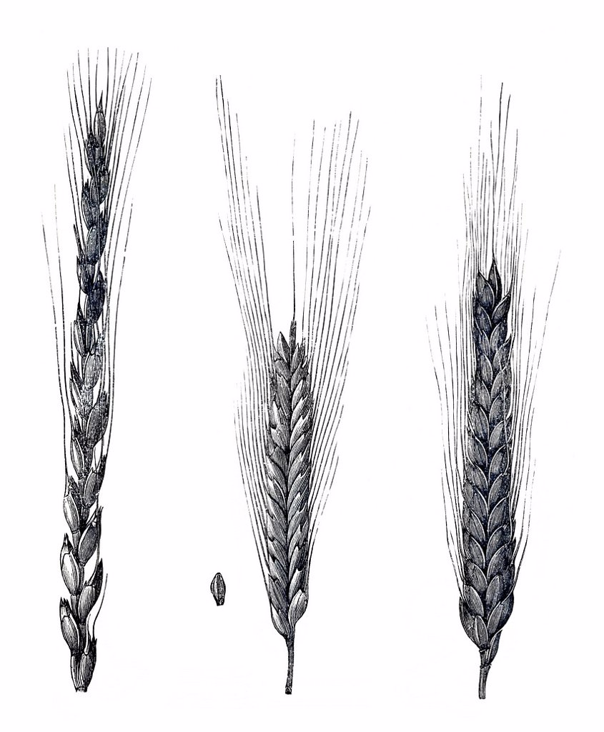 Stock Photo: 1848-586762 Drawings of different spelt varieties Triticum spelta L., Pflanzenbaulehre Leitfaden or Guide for plant cultivation by Dr. W. Koeppen, 1908