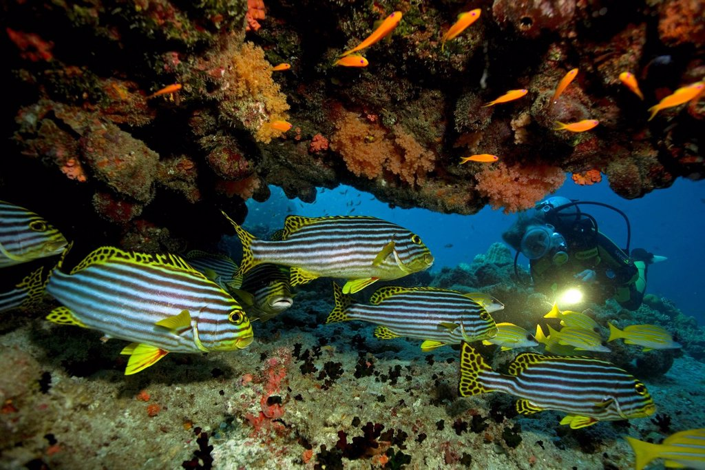 Stock Photo: 1848-586849 Scuba diver watching a shoal of Oriental sweetlips Plectorhinchus vittatus, Maldives, Indian Ocean, Asia