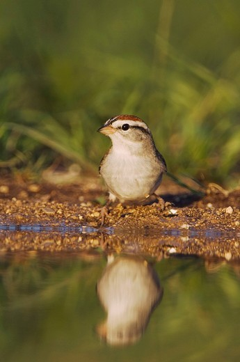 Chipping Sparrow Spizella passerina, adult drinking, Uvalde County, Hill Country, Central Texas, USA : Stock Photo