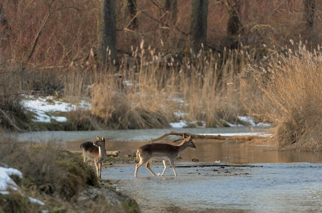Fallow Deer Dama dama, doe and calf, Danube wetlands, Donau Auen National Park, Lower Austria, Austria, Europe : Stock Photo