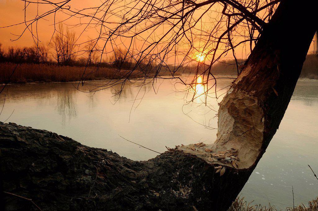 Wetlands at sunrise, beaver damage, winter, Danube_Auen National Park, Lower Austria, Austria, Europe : Stock Photo