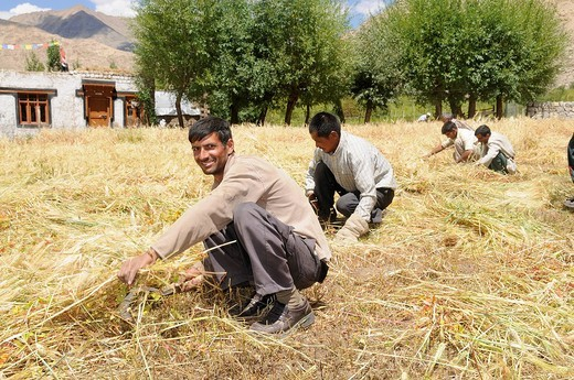 Indian men as seasonal harvest labourers, migrant workers, in Ladakhis near the Traktok monastery, Ladakh, India, Himalayas, Asia : Stock Photo