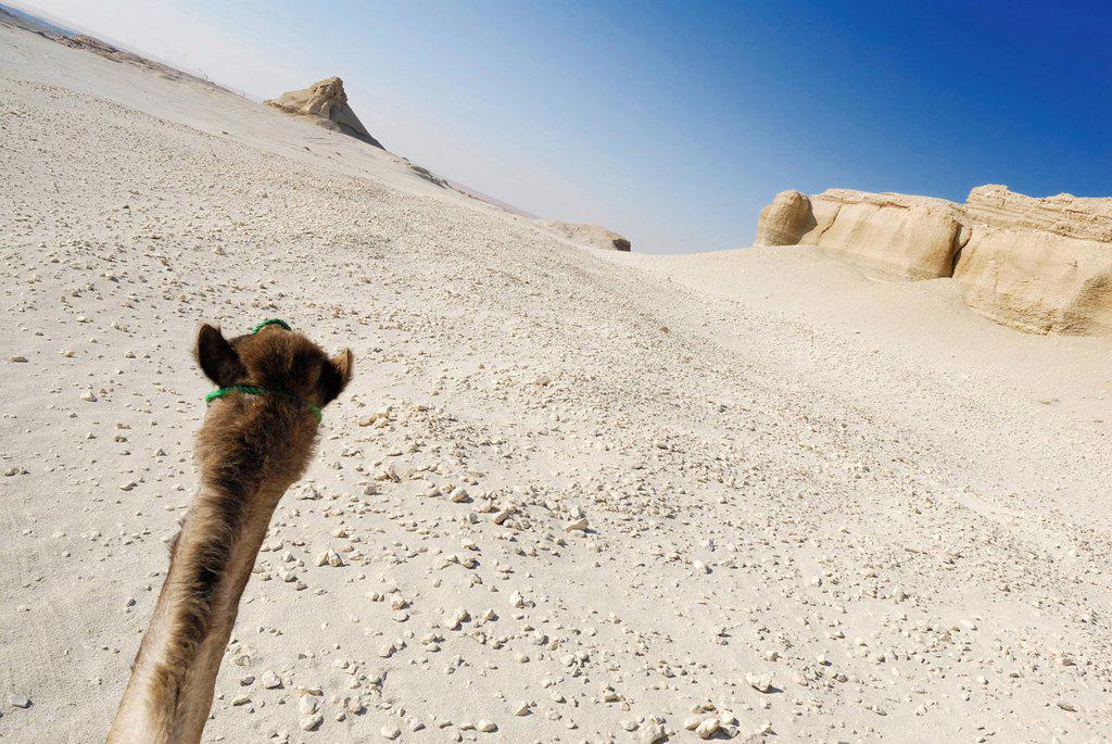 Stock Photo: 1848-591052 Arabian camel, dromedary Camelus dromedarius, desert trekking, Dakhla Oasis, Libyan Desert, also known as Western Desert, Egypt, Africa