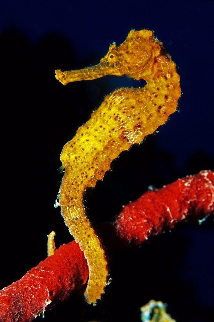 Longsnout seahorse or slender seahorse Hippocampus reidi, female, Roatan, Caribbean : Stock Photo