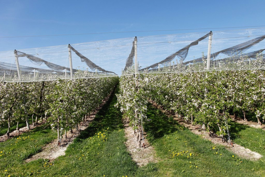 Apple orchard, apple blossom, Puch near Weiz, Mt Kulm at back, Syria, Austria, Europe, PublicGround : Stock Photo