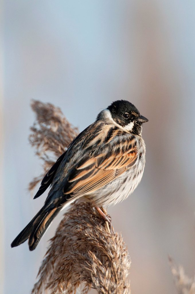 Reed Bunting Emberiza schoeniclus, Duemmer, Lower Saxony, Germany, Europe : Stock Photo