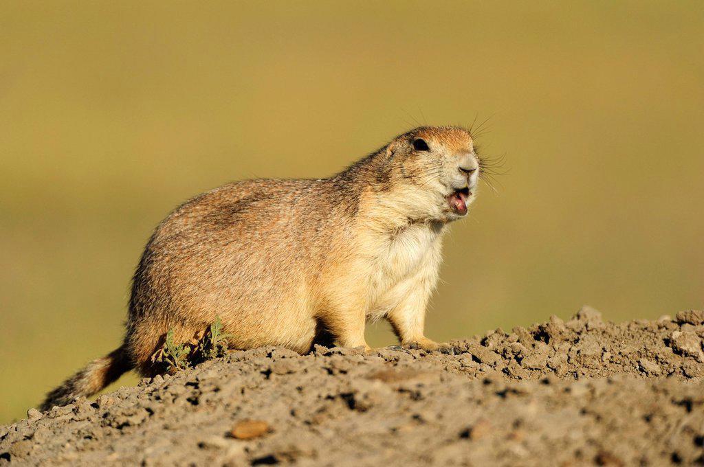 Stock Photo: 1848-594441 Black_tailed prairie dog Cynomys ludovicianus in the prairie, Saskatchewan, Canada