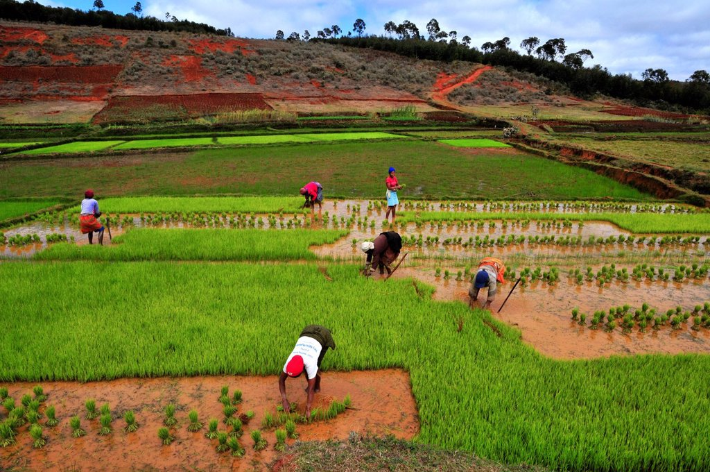 Women harvesting rice in the highlands of Madagascar, Africa, Indian Ocean : Stock Photo