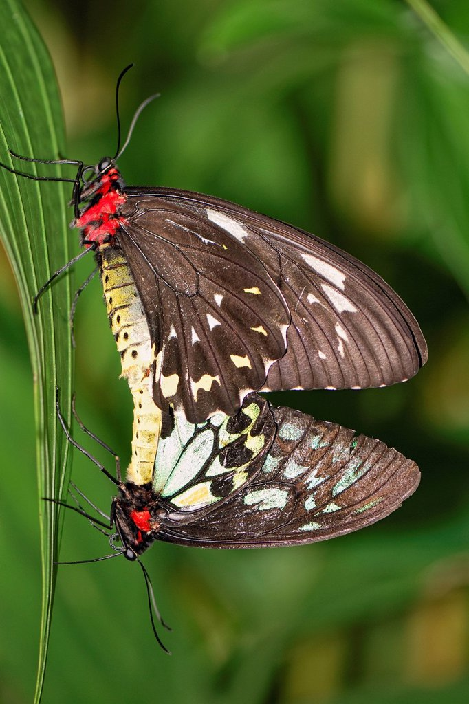 Stock Photo: 1848-595842 Cairns Birdwings Ornithoptera priamus euphorion, mating, female on top, male below, Australian Butterfly Sanctuary, Kuranda, Queensland, Australia