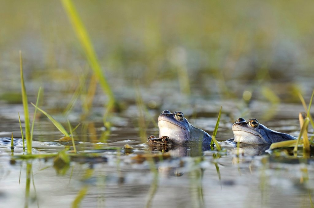 Moor Frogs Rana arvalis in spawning grounds during mating, Middle Elbe Biosphere Reserve near Dessau, Saxony_Anhalt, Germany, Europe : Stock Photo