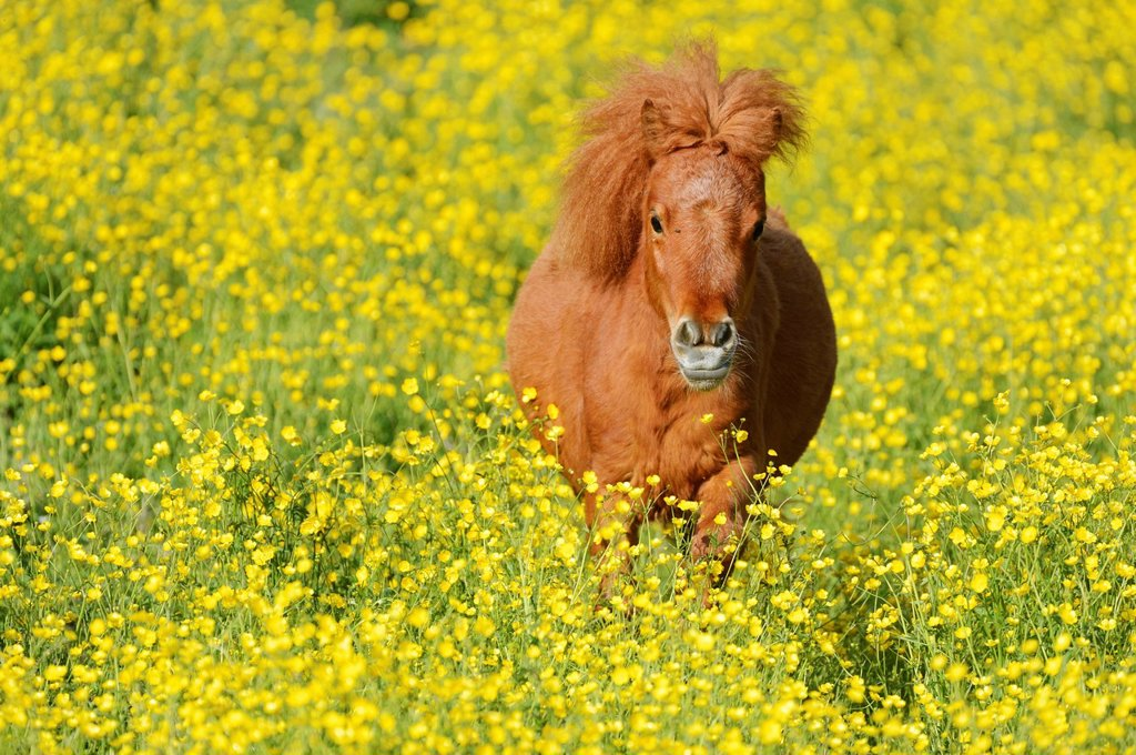Shetland pony on a field of blooming buttercup Ranunculus sp., Maschwanden, Switzerland, Europe : Stock Photo