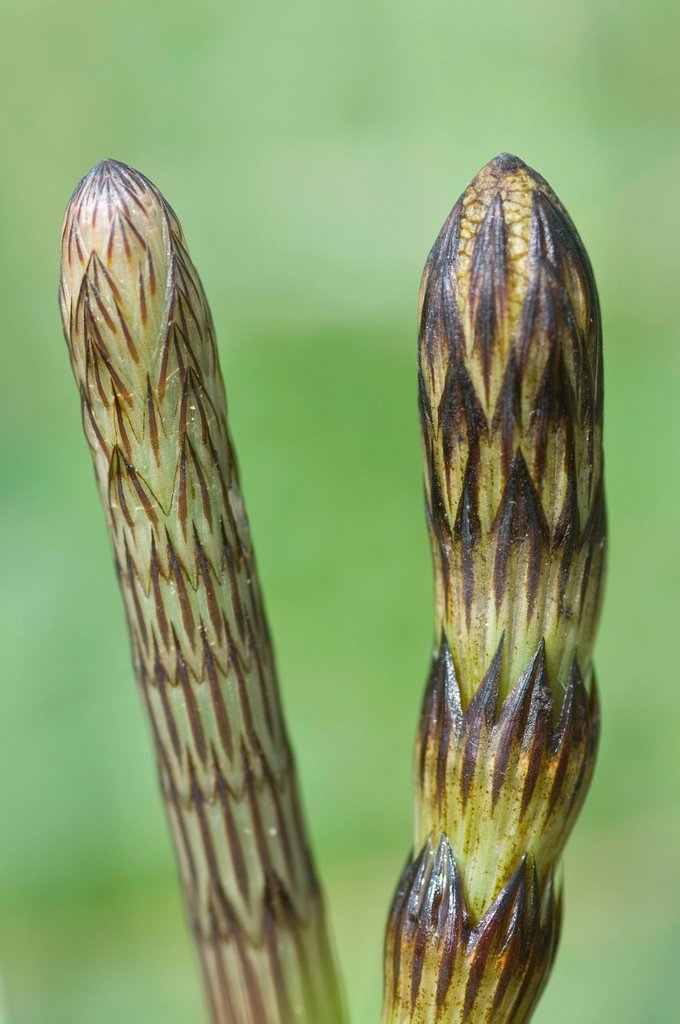 Stock Photo: 1848-598056 Field horsetail Equisetum arvense, Haren, Emsland, Lower Saxony, Germany, Europe