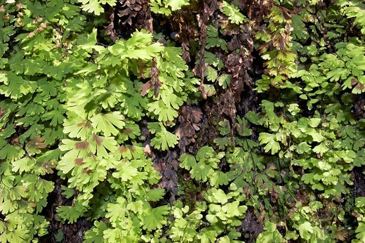 Maidenhair fern Adiantum pedatum Dales Gorge Karijini National Park Pilbara region western australia WA : Stock Photo