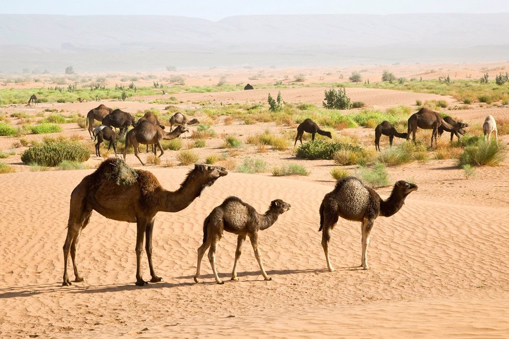 Wild camels at the sand dunes of Erg Chegaga, Sahara Desert near Mhamid, Morocco, Africa : Stock Photo