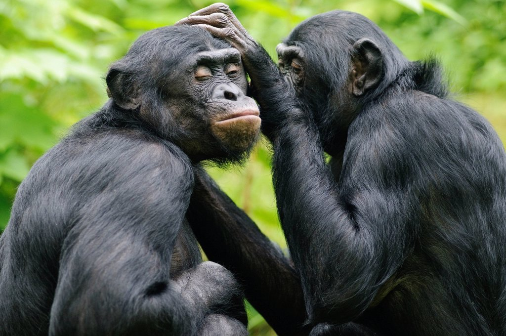 Two Bonobos or Pygmy Chimpanzees Pan paniscus, delousing each other in an enclosure : Stock Photo