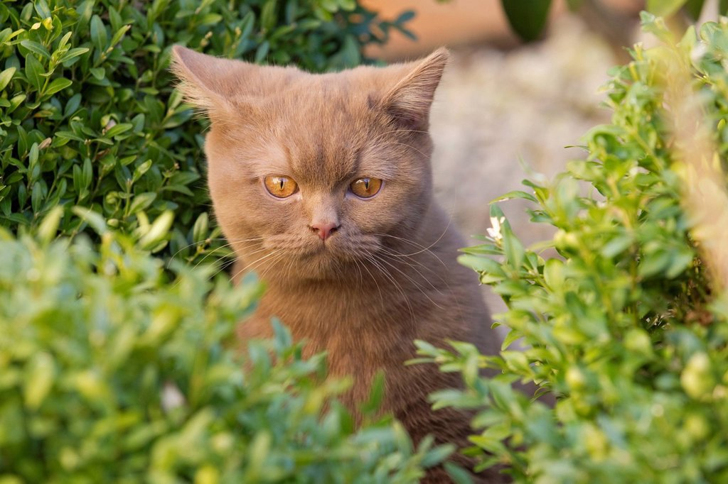 British short hair cat Felis catus, cinnamon : Stock Photo