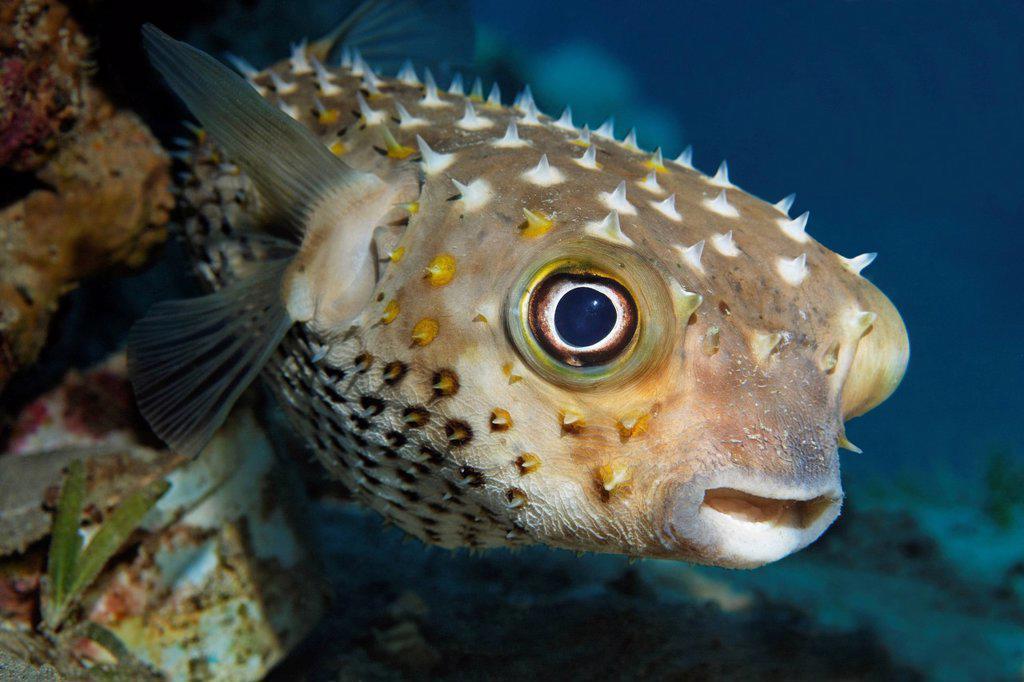 Spotbase burrfish or yellowspotted burrfish Cyclichthys spilostylus, Hashemite Kingdom of Jordan, JK, Red Sea, Western Asia : Stock Photo