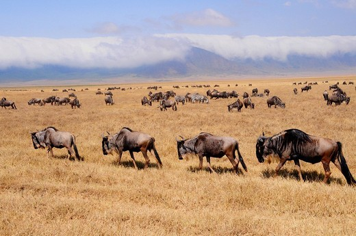 Stock Photo: 1848-60528 Blue Wildebeest Connochaetes taurinus in front of the cloud shrouded edge of the Ngorongoro crater, Ngorongoro Conservation Area, Tanzania, Africa