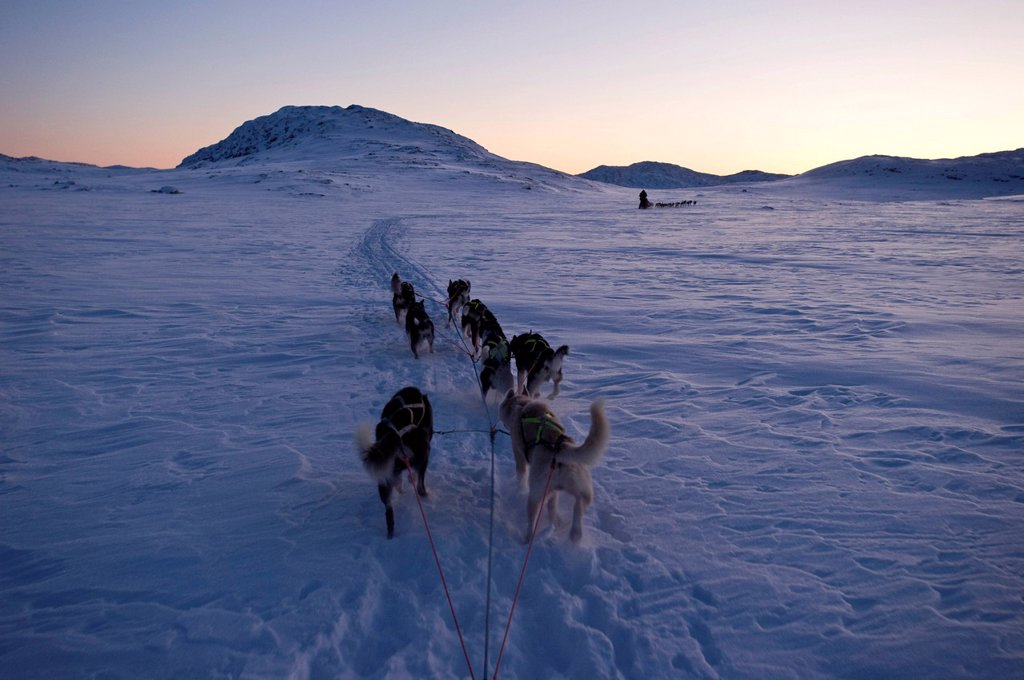 Sled dog team, Alaskan Huskies during daily training for the Finnmarksløpet sled dog race, Alta, Finnmark, Lapland, Norway, Europe : Stock Photo
